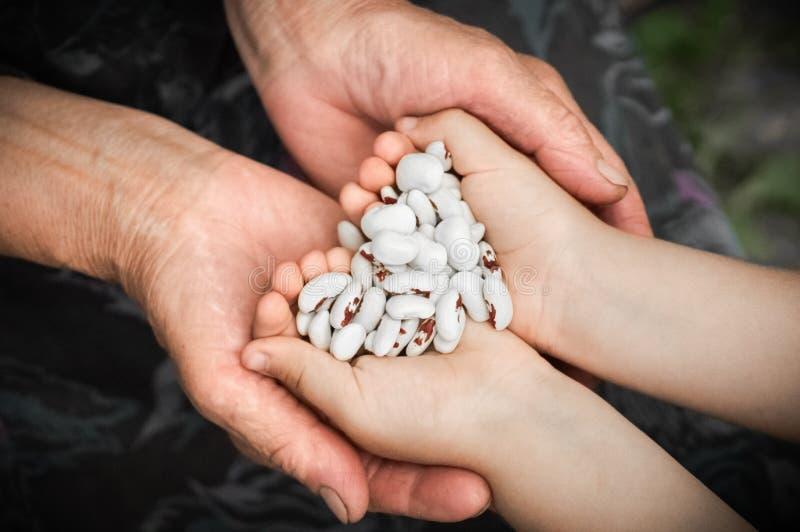 Makroen sköt med grunt djup av fältet av rå vita njurebenas Vita njurebönor med röda fläckar i händerna av farmodern och lilla fl arkivfoto