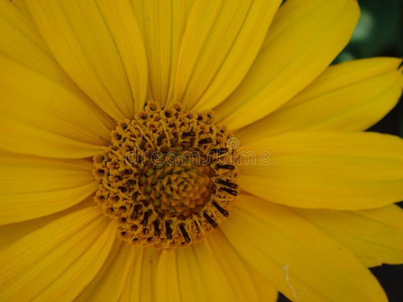 Makroen sk?t den maxican solrosen, gul blommabakgrund arkivbilder