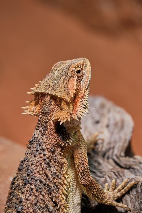 Makrofärgfoto av en skäggig drake arkivbilder