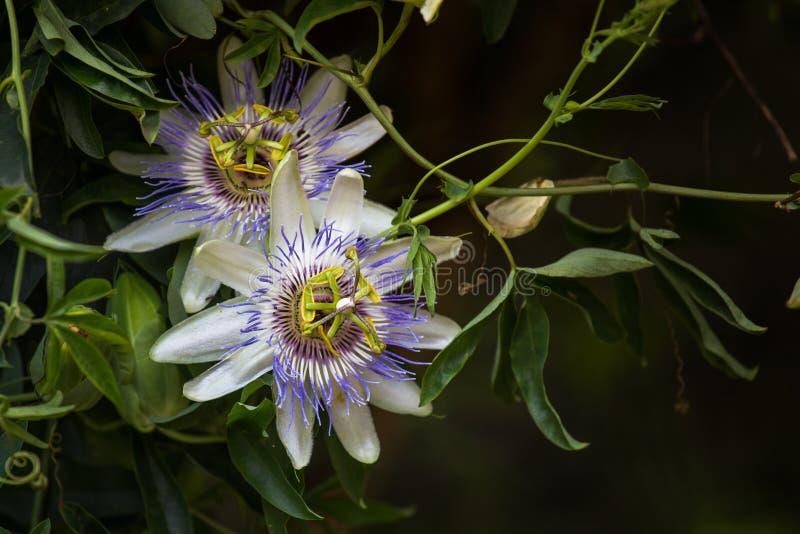 Makrofoto alient exotischen Blume Passionsblume incarnata lizenzfreie stockfotografie