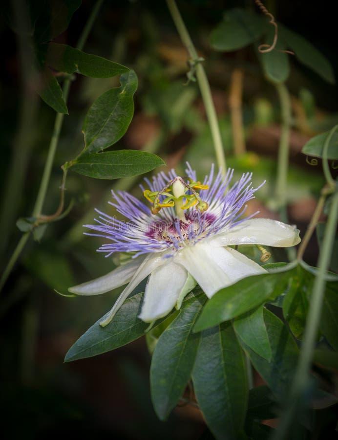 Makrofoto alient exotischen Blume Passionsblume incarnata stockbilder