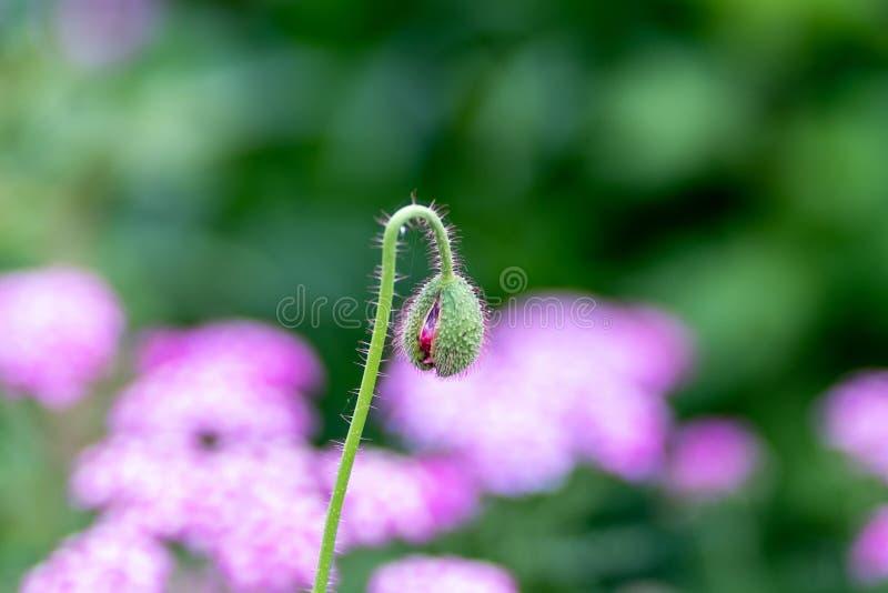 Makrofoto av den gröna knoppen mot en bakgrund av blommor i mjuk fokus arkivbilder