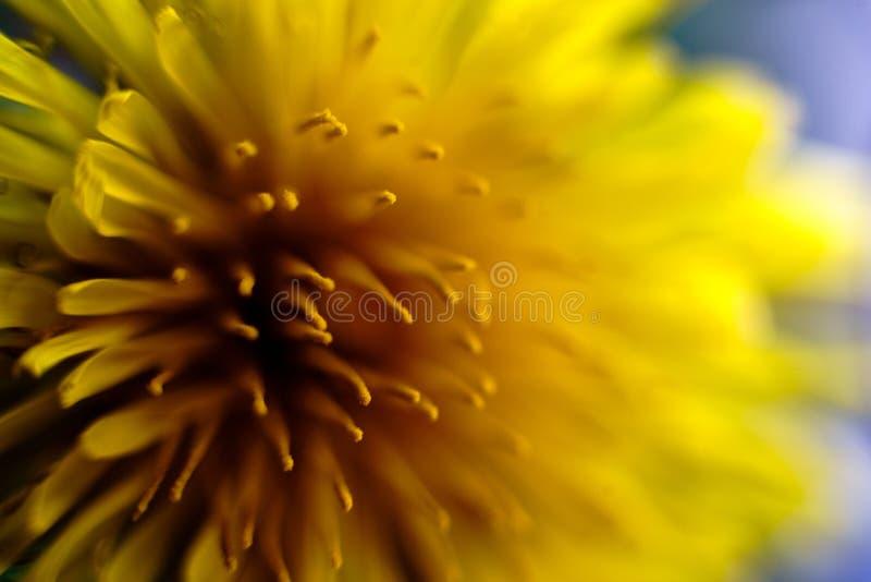 Makrofoto av den gula blomman, maskros Härliga färger och djup arkivbilder