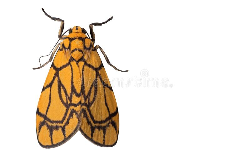 Makrofoto av den gula malen som isoleras på vit bakgrund med Cli arkivfoton