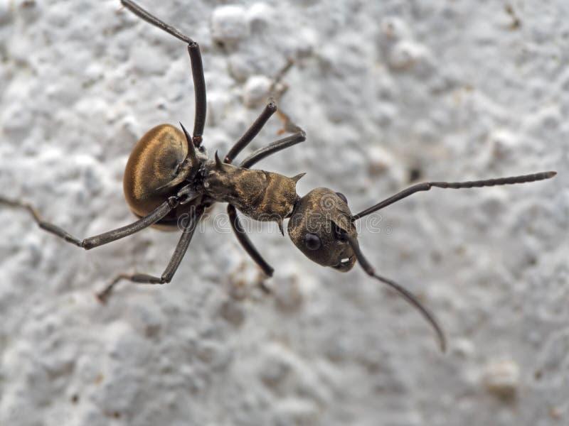 Makrofoto av den håriga myran med grova spiken på jordningen arkivbild