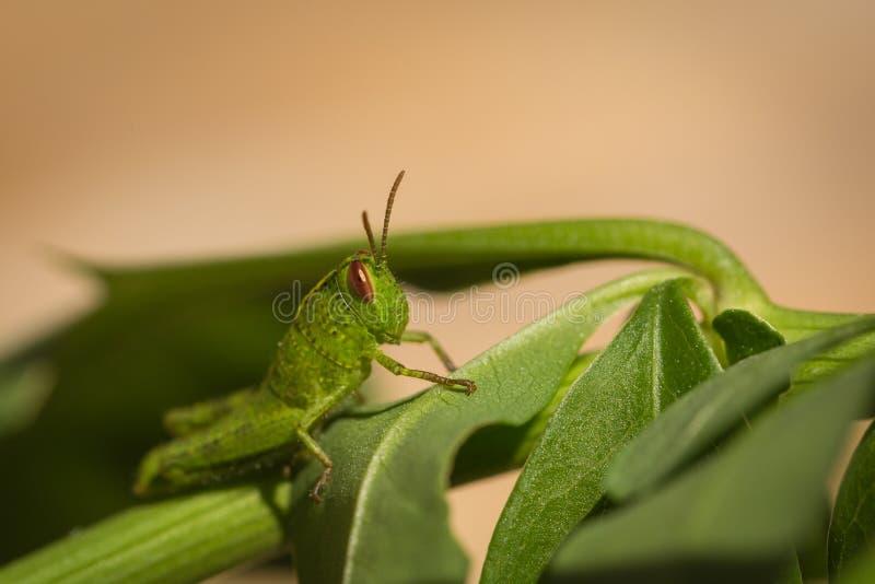 Makrofoto av den lilla gröna gräshoppan på ett blad arkivfoto