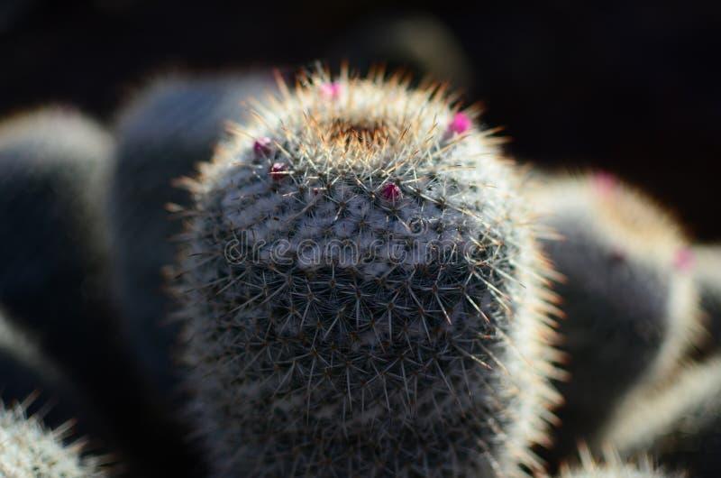 Makrofoto av den lilla kaktuns royaltyfria bilder