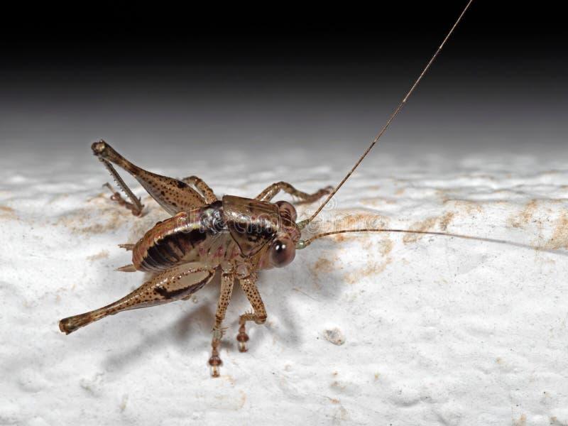 Makrofoto av det bruna syrsakrypet på det vita golvet fotografering för bildbyråer