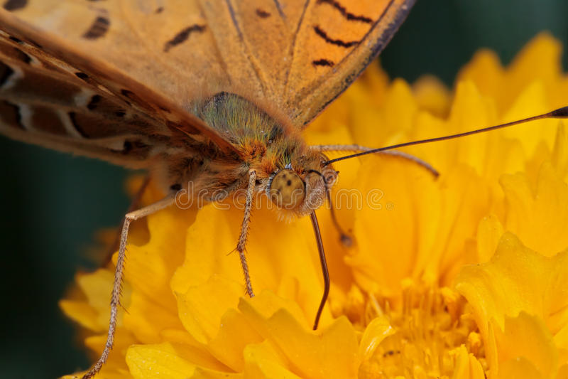 Makrofoto av en fjäril på en gul blomma arkivfoton