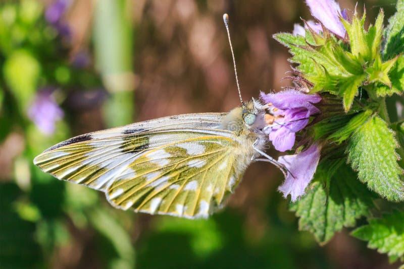 Makrofoto av en fjärilsnärbild En fjäril sitter på en blomma Malen sitter på en blomma och dricker nektar Ett foto av en mal royaltyfri bild