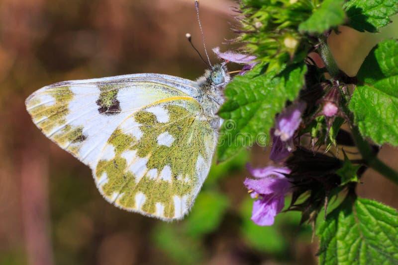 Makrofoto av en fjärilsnärbild En fjäril sitter på en blomma Malen sitter på en blomma och dricker nektar Ett foto av en mal arkivfoto