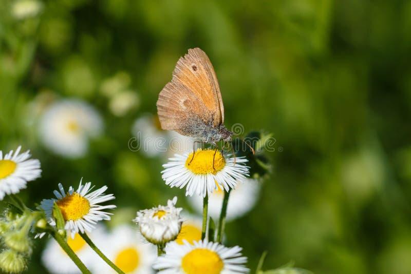 Makrofoto av en fjärilsnärbild En fjäril sitter på en blomma Malen sitter på en blomma och dricker nektar Ett foto av en mal fotografering för bildbyråer