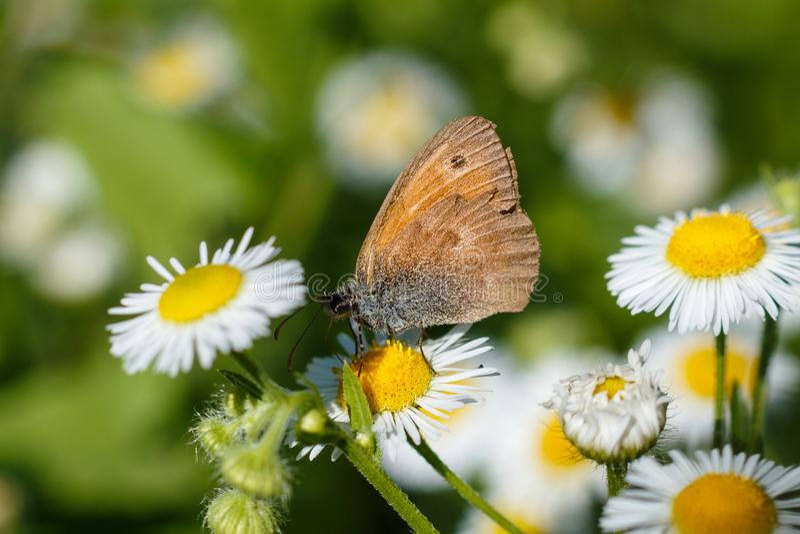 Makrofoto av en fjärilsnärbild En fjäril sitter på en blomma Malen sitter på en blomma och dricker nektar Ett foto av en mal arkivbild