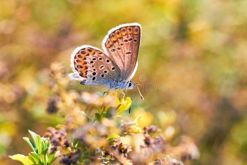 Makrofoto av en fjärilsnärbild En fjäril sitter på en blomma Malen sitter på en blomma och dricker nektar Ett foto av en mal arkivfoton