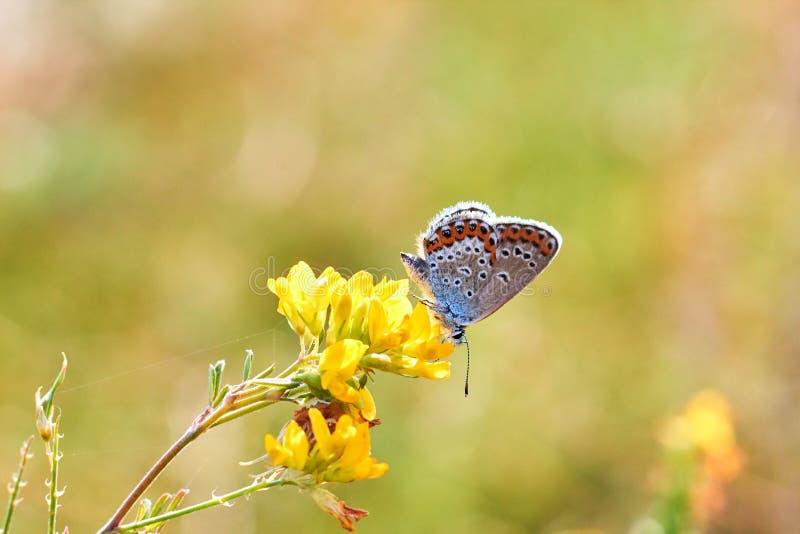 Makrofoto av en fjärilsnärbild En fjäril sitter på en blomma Malen sitter på en blomma och dricker nektar Ett foto av en mal royaltyfria bilder