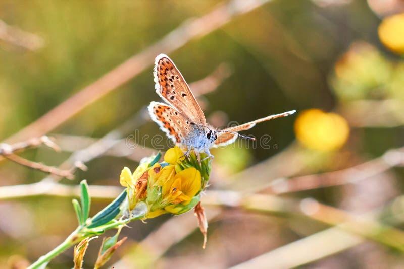 Makrofoto av en fjärilsnärbild En fjäril sitter på en blomma Malen sitter på en blomma och dricker nektar Ett foto av en mal arkivbilder