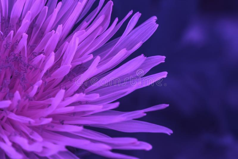 Makrofoto av en maskrosväxt Fluorescerande blommamaskrosväxt med en fluffig purpurfärgad knopp växa för maskrosblomma i royaltyfria bilder