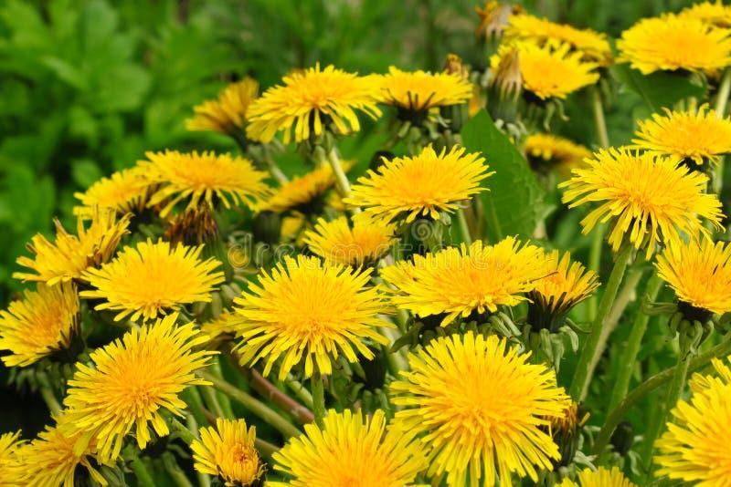Makrofoto av en maskrosväxt Maskrosväxt med en fluffig gul knopp Gult växa för maskrosblomma i jordningen royaltyfri foto