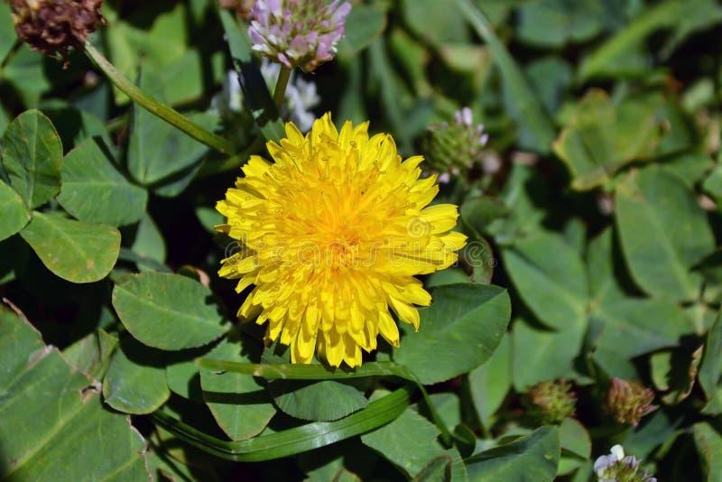 Makrofoto av en maskrosväxt Maskrosväxt med en fluffig gul knopp Gult växa för maskrosblomma i jordningen royaltyfri fotografi