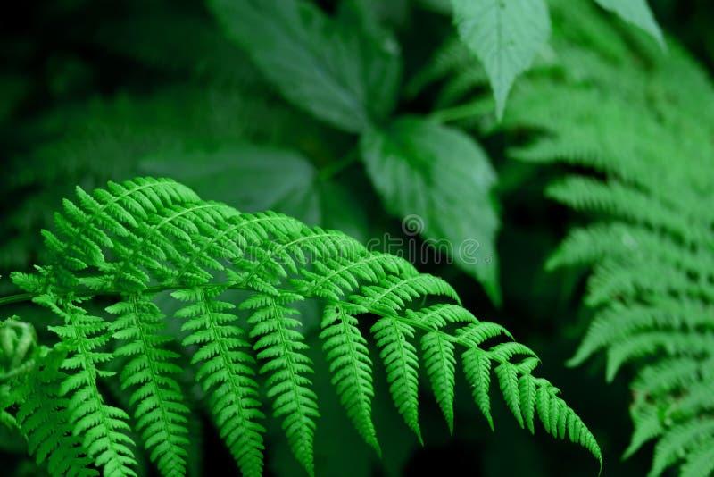Makrofoto av en ormbunke i skogen fotografering för bildbyråer