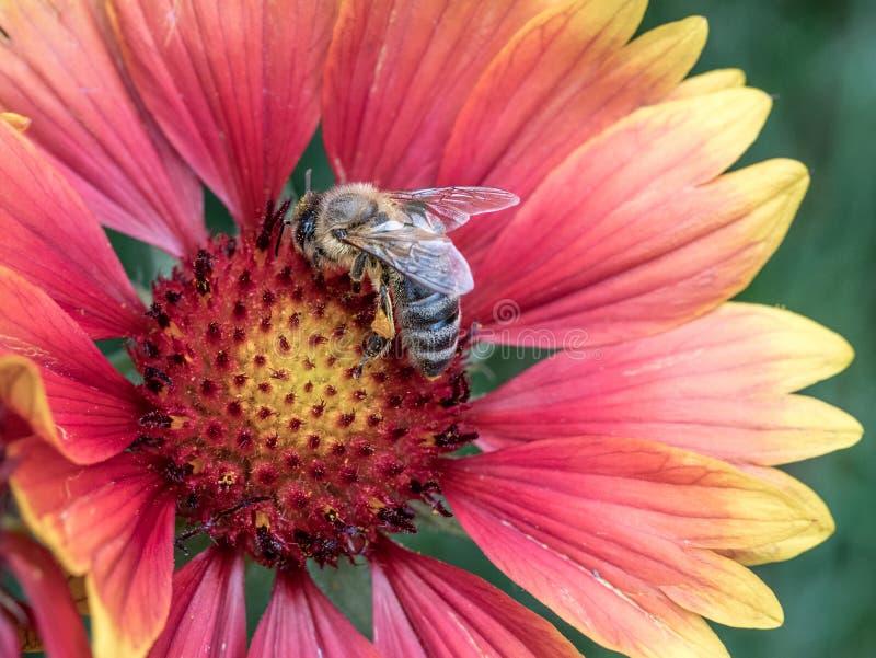 Makrofoto av ett bislut upp Ett bi samlar nektar från blomman royaltyfria bilder