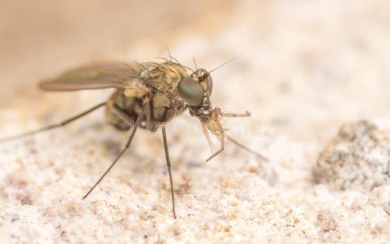Makrofoto av ett kryp, en Dolichopodidae fluga som äter en springtail royaltyfria bilder