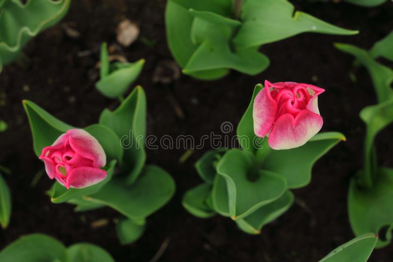 Makrofoto av för knoppblomma för natur den gula vallmo Bakgrund som blommar vallmoblommor med en stängd knopp Vallmo växer i jord arkivfoton
