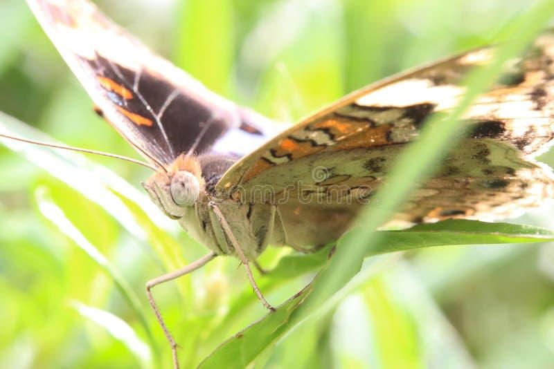 Makrofoto av fjärilen med det detaljerade huvudet royaltyfria foton