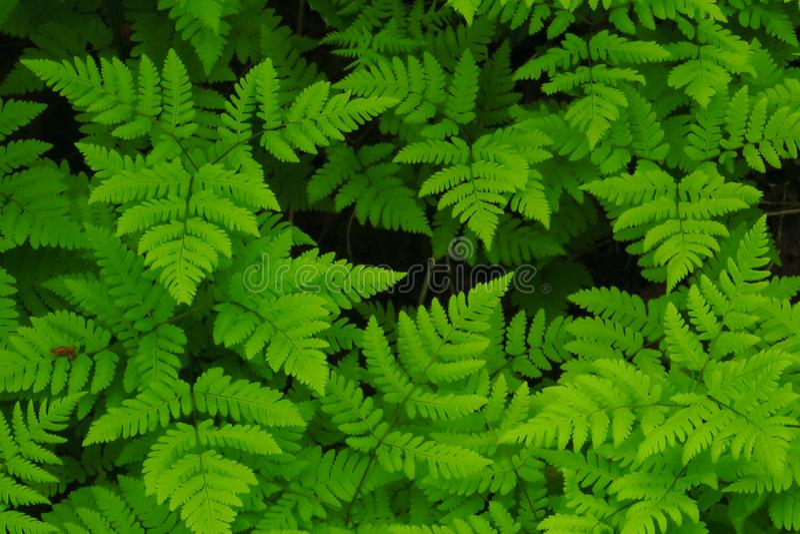 Makrofoto av gröna ormbunkekronblad Ormbunke på bakgrunden av gröna växter arkivfoto
