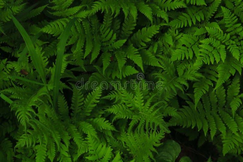 Makrofoto av gröna ormbunkekronblad Ormbunke på bakgrunden av gröna växter royaltyfri foto