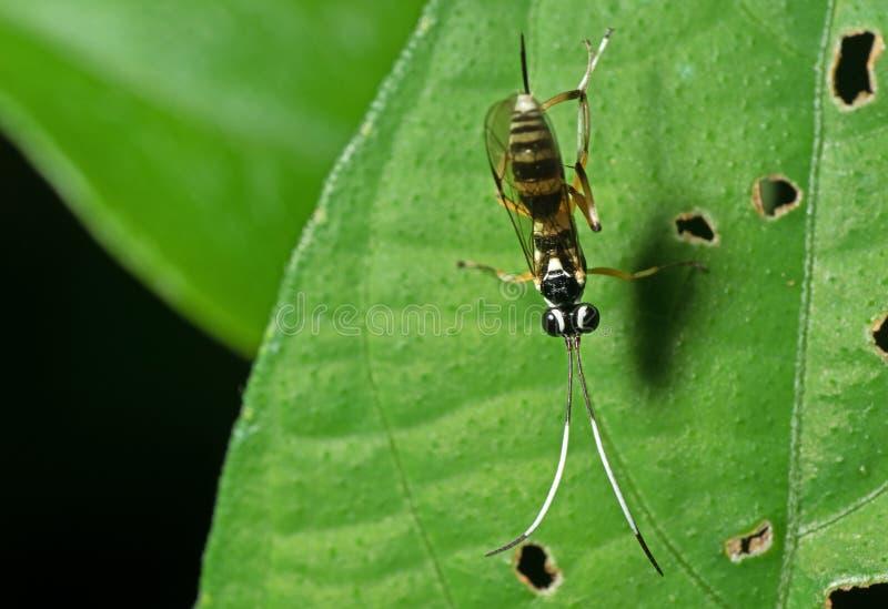 Makrofoto av ichneumonen Wasp med svartvita Antennae på G arkivbild