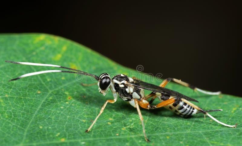 Makrofoto av ichneumonen Wasp med svartvita Antennae på G fotografering för bildbyråer