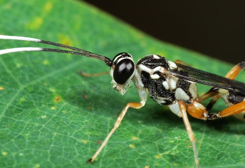 Makrofoto av ichneumonen Wasp med svartvita Antennae p? det gr?na bladet arkivbild