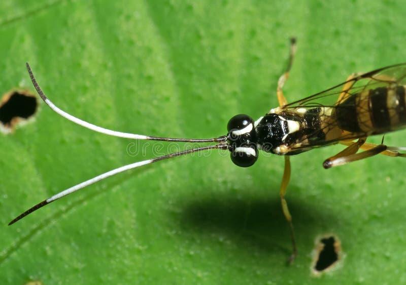 Makrofoto av ichneumonen Wasp med svartvita Antennae p? det gr?na bladet arkivbilder