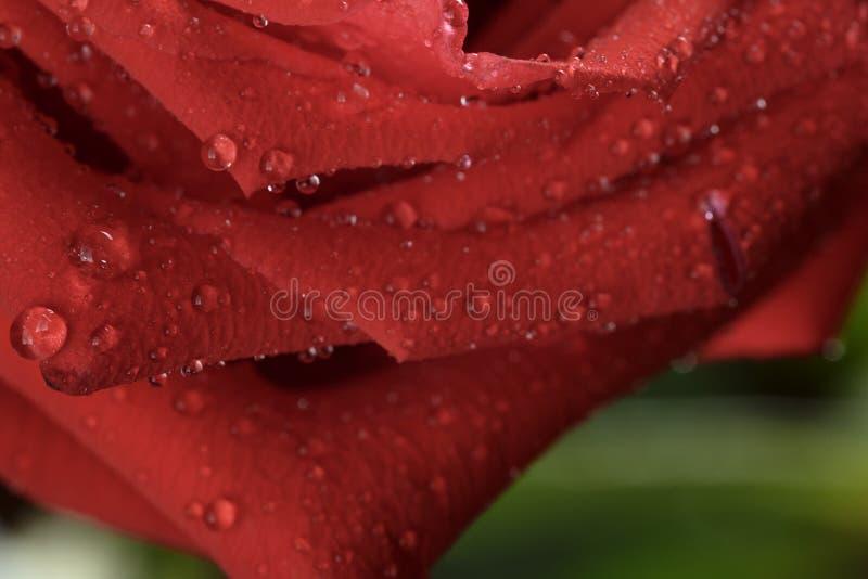 Makrofoto av mörker - rött vått steg med vattendroppar fotografering för bildbyråer