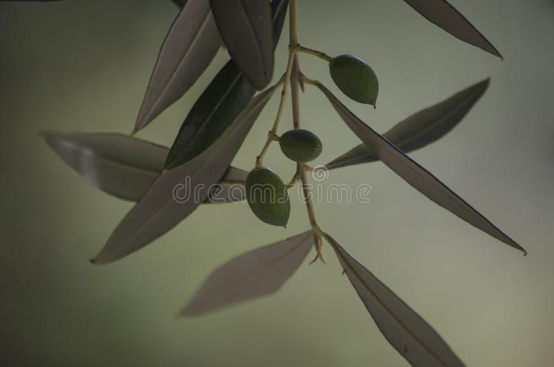 Makrofoto av olivträdet arkivfoton