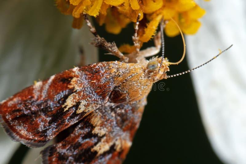 Makrofoto av sugande nektar för mal från blomman arkivbild