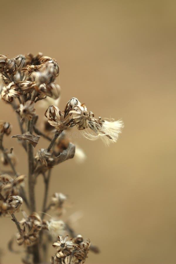 Makrofoto av torrt blommagräs på suddig brunt arkivbilder