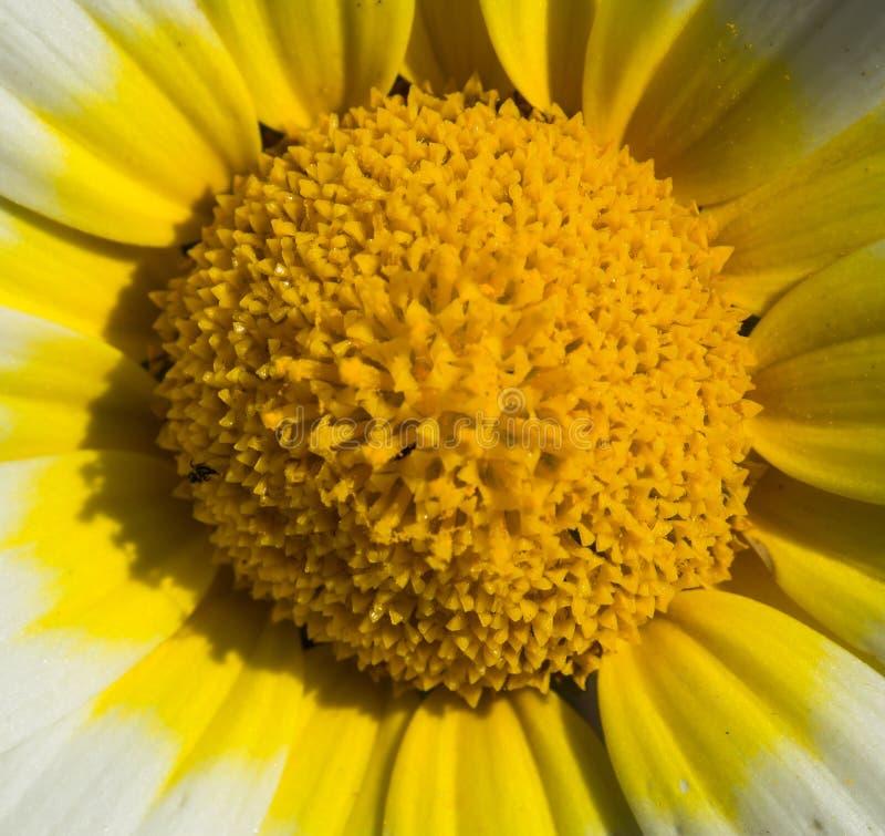 Makrofoto av tusenskönan arkivbild