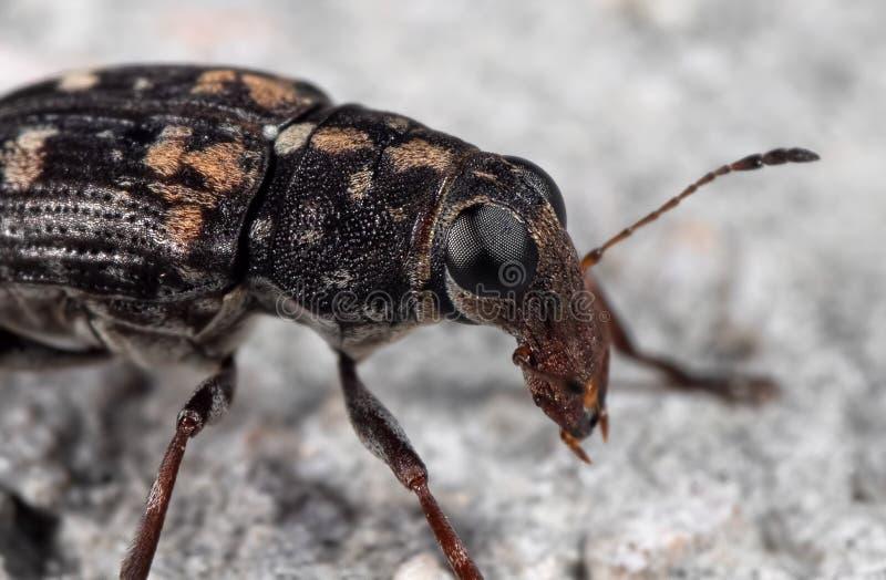 Makrofoto av Weonde Beetle eller Snout Beetle på golvet royaltyfri foto