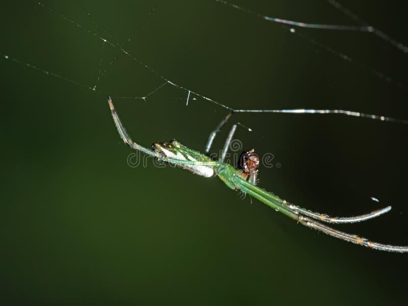Makrofoto der bunten Spinne auf Netz mit dem Opfer lokalisiert auf undeutlichem Hintergrund stockfotografie