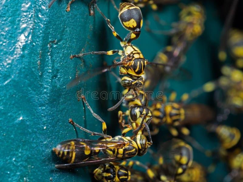 Makrofoto der Gruppe Wespen auf blaues Grün-Metallmaterial lizenzfreies stockbild