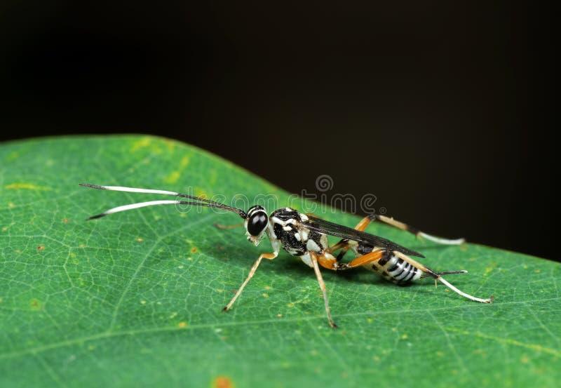 Makrofoto der Ichneumon-Wespe mit Schwarzweiss-Antennen auf G stockfotografie