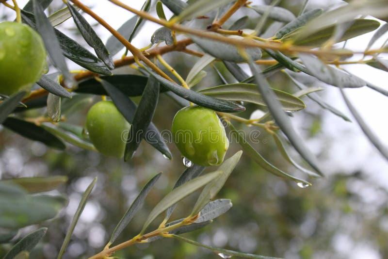 Makrofoto der Oliven auf Baumnahaufnahme lizenzfreies stockbild