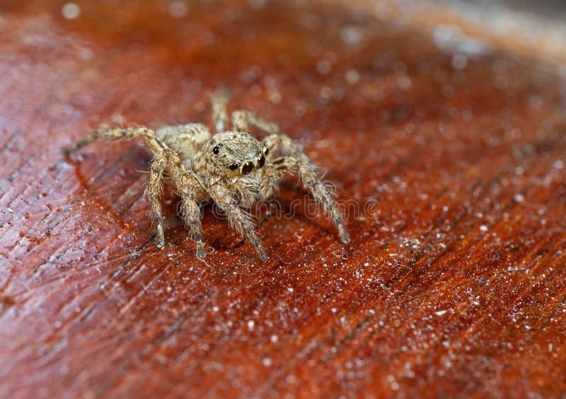 Makrofoto der springenden Spinne lokalisiert auf hölzernem Hintergrund lizenzfreie stockfotografie