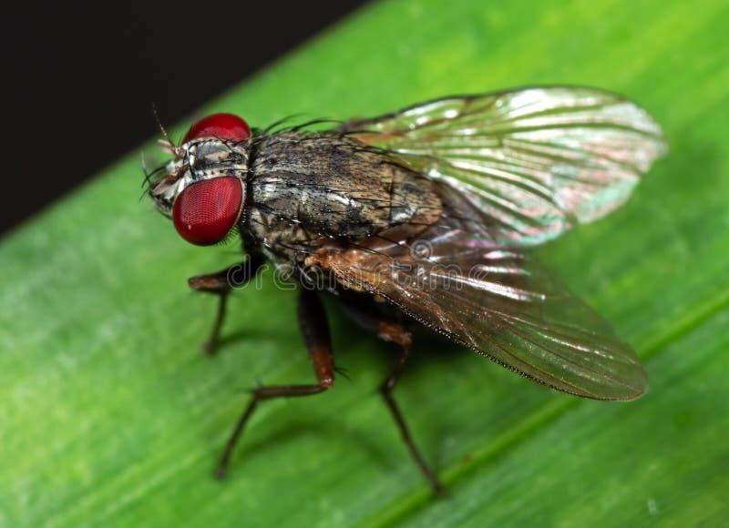 Makrofoto der Stubenfliege auf grünem Blatt stockfoto