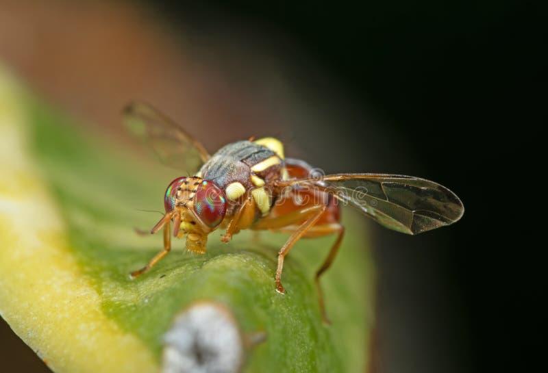 Makrofoto der Wespen-Nachahmer-Fliege auf Blatt stockfotos