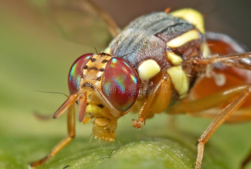 Makrofoto der Wespen-Nachahmer-Fliege auf Blatt stockfotografie