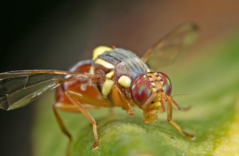 Makrofoto der Wespen-Nachahmer-Fliege auf Blatt lizenzfreie stockbilder