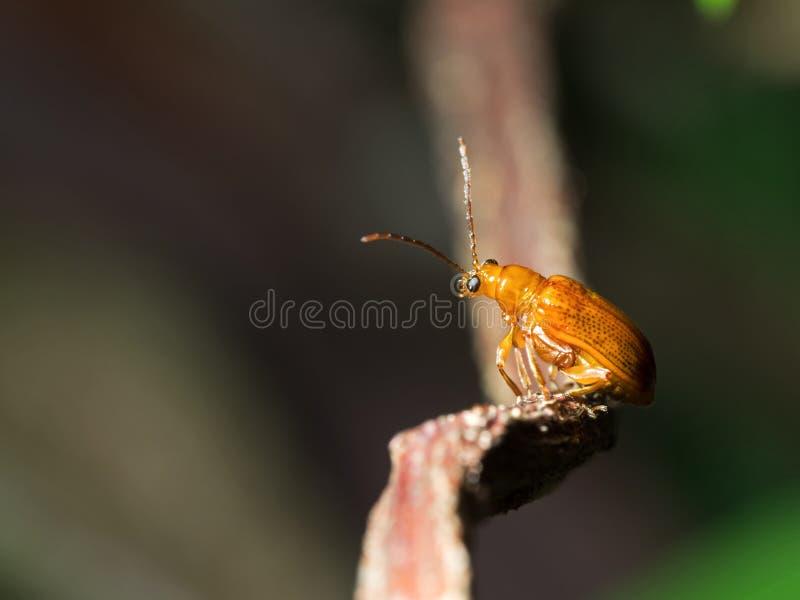 Makrofoto des netten orange Käfers, der auf hölzernem Zweig-Isolat sitzt lizenzfreie stockfotografie